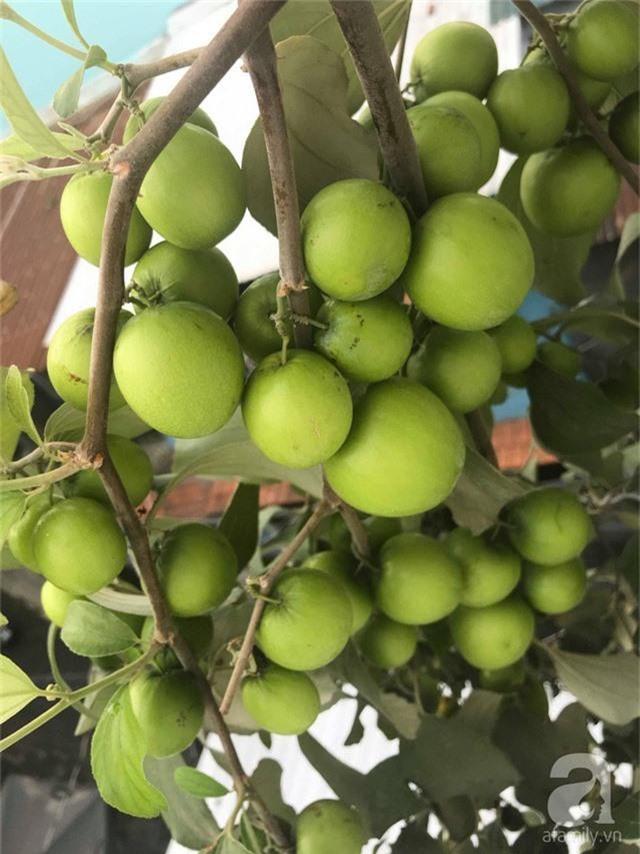 Kinh nghiệm trồng táo trên sân thượng thu hoạch không xuể của người đàn ông đảm đang ở Sài Gòn - Ảnh 5.
