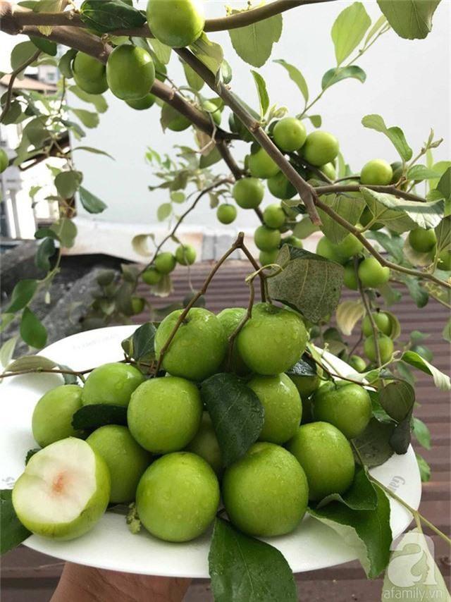 Kinh nghiệm trồng táo trên sân thượng thu hoạch không xuể của người đàn ông đảm đang ở Sài Gòn - Ảnh 6.