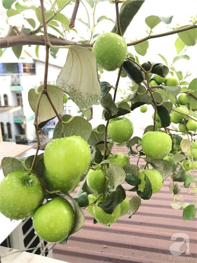 Kinh nghiệm trồng táo trên sân thượng thu hoạch không xuể của người đàn ông đảm đang ở Sài Gòn - Ảnh 7.