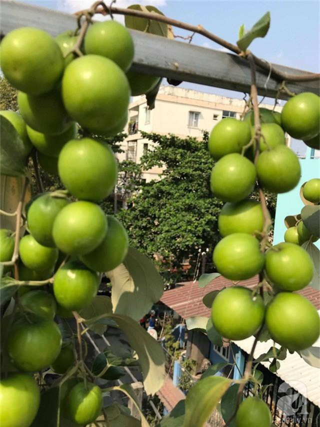 Kinh nghiệm trồng táo trên sân thượng thu hoạch không xuể của người đàn ông đảm đang ở Sài Gòn - Ảnh 8.