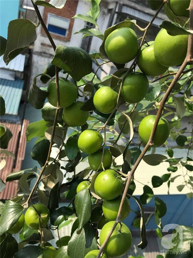 Kinh nghiệm trồng táo trên sân thượng thu hoạch không xuể của người đàn ông đảm đang ở Sài Gòn - Ảnh 9.