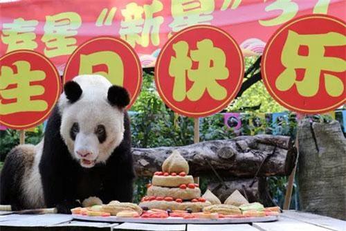 Gấu trúc Xinxing trong bữa tiệc sinh nhật. (Ảnh: Xinhua)