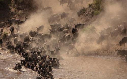 Hình ảnh động vật ấn tượng ghi cảnh linh dương đầu bò tạo ra đám mây bụi khi chúng vượt sông trong vườn quốc gia Maasai Mara, Kenya.