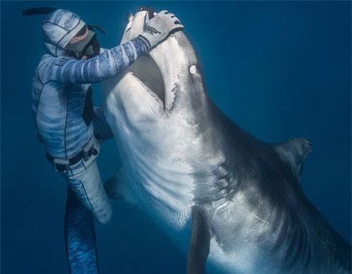Thợ lặn dung tay không vuốt ve cá mập.