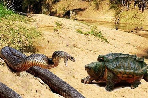Ít ai ngờ, những con rùa cũng có khẩu vị với thịt rắn. Trên thực tế, rùa vốn là loài ăn tạp từ rau, hoa quả đến cá, tôm tép… nhưng chỉ đôi khi chúng chuyển khẩu vị với rắn