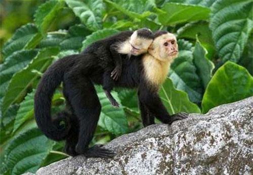 Khỉ capuchin là một trong những loài nổi tiếng thông minh, lanh lợi.