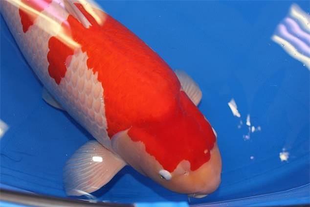 8. Đặc điểm quyết định độ quý hiếm của cá Koi là màu sắc, hoa văn và đạt nhiều giải cao trong các cuộc thi.