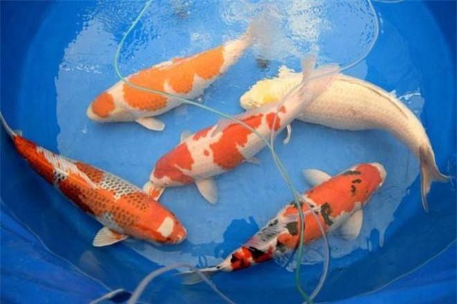 4: Triển lãm cá Koi lần đầu được tổ chức ở thành phố Tokyo