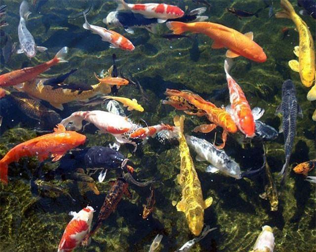 6: Quốc gia lai tạo được cá Koi