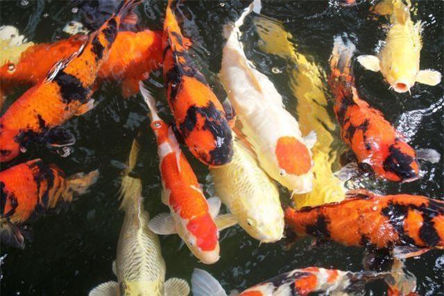 5: Cá Koi đắt nhất từng được bán ở Nhật Bản
