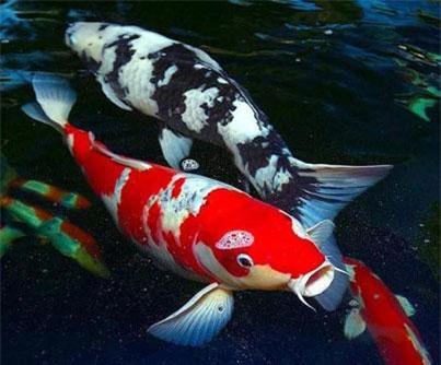 2: Loài cá nào có thể sống hơn 200 năm là cá Koi