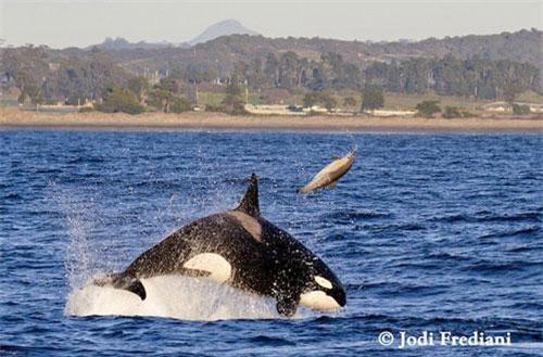 Nữ nhiếp ảnh gia Jodi Frediani đã chụp lại cảnh cá voi sát thủ phi thân tấn công cá heo tại vịnh Monterey (Mỹ).