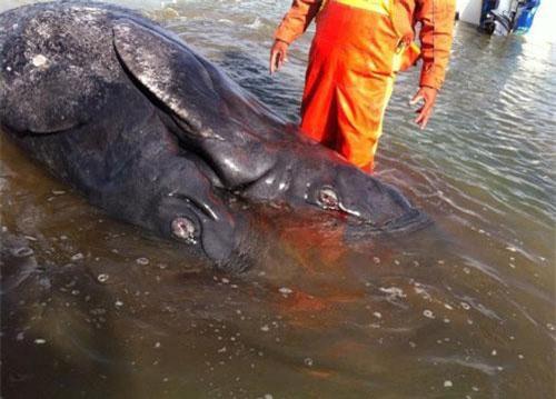 Các nhà khoa học Mexico vừa phát hiện trường hợp cá voi xám dính hai đầu, hai đuôi kỳ quái bán đảo Baja, California.