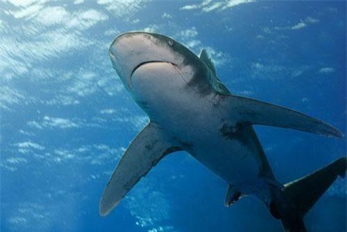 Cá mập là kẻ săn mồi nguy hiểm ở đại dương.