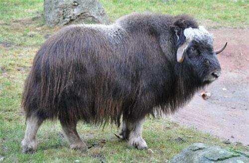 5. Bò xạ hương. Ảnh: wikipedia.org.