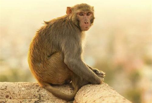 Óc khỉ là một trong những món ăn kinh dị do một vị Hoàng đế Trung Quốc nghĩ ra. Để chế biến món ăn, người ta bắt những con khỉ sống trên núi Thiên Hoa, chuyên ăn quả lê đặc biệt ở vùng này.