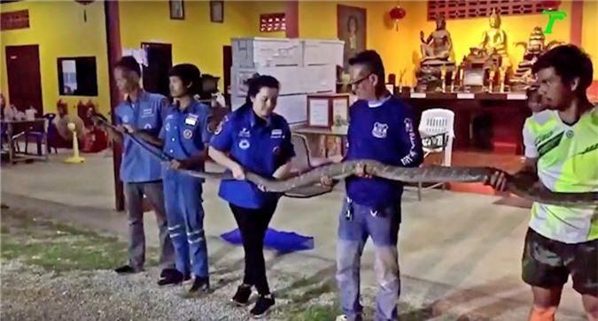 video: bat ho mang chua khong lo dai 5m vua nuot song ky da hinh anh 2