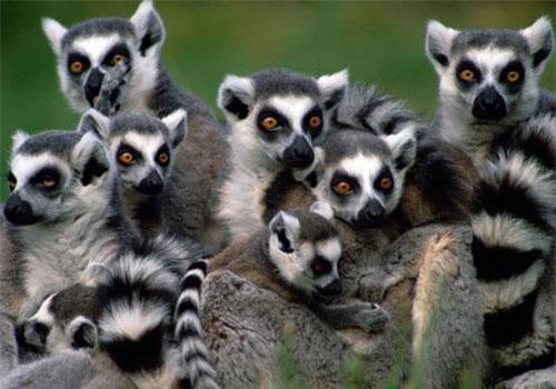 Các loài linh trưởng như vượn cáo, khỉ mũ, tinh tinh, khỉ đầu chó… đều là động vật đáng yêu, nhìn rất dễ thương, nhưng tuyệt đối không phải loài vật mà con người nên giữ trong nhà. Khi tức giận, chúng có thể la hét, ném đồ đạc, thậm chí có thể hung hăng cắn chủ. Đáng lo lắng hơn là các loài linh trưởng tiềm ẩn nguy cơ lây lan các bệnh truyền nhiễm.