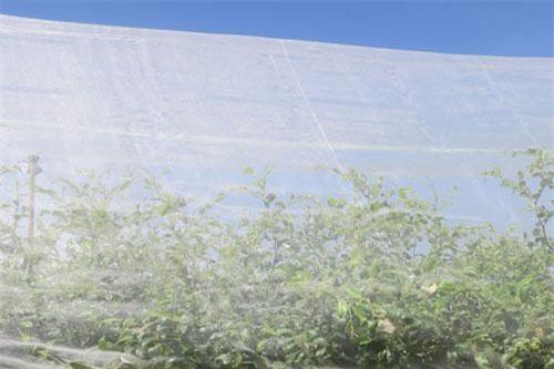 Bao phủ lưới quanh vườn táo giúp phòng trừ sâu bệnh, giảm phun thuốc bảo vệ thực vật.