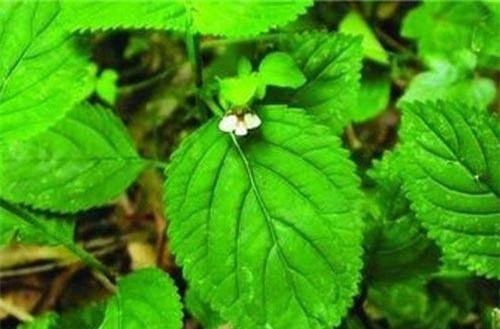Cây cỏ mật cá có tên khoa học là Ardisia Verbascifolia Mez. Cây còn có nhiều tên gọi khác như mật đất, thằm ngăm đất, sản đắng. Ảnh: tradimed.