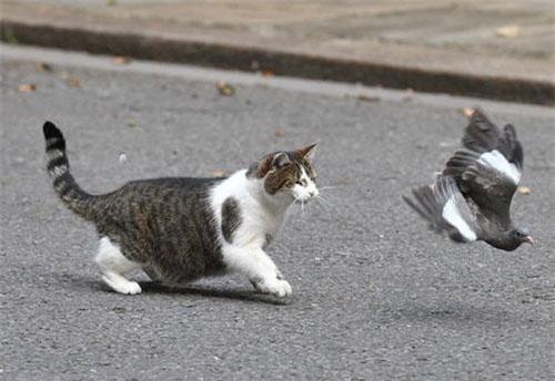Hình ảnh động vật ấn tượng ghi cảnh mèo đuổi theo chim bồ câu trên đường phố ở Downing Street, London, Anh. (Nguồn Guardian)