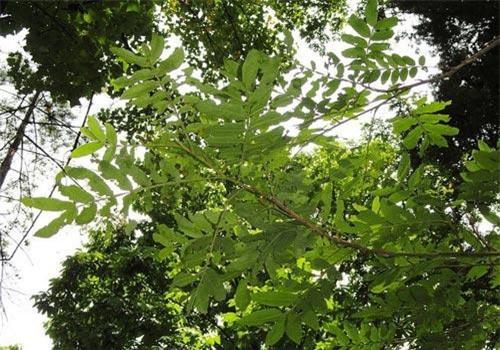 Cây cơi có tên khoa học là Pterocarya Tonkinensis (Franch.) Dode. Đây là loại cây nhỡ leo cao 5m - 10m, lá kép lông chim, hoa đơn tính, quả họp thành bông thòng, rất dài, tới 15cm hoặc dài hơn. Ảnh: ydvn.