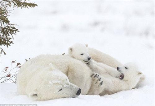 Mệt mỏi sau chuyến đi săn hải cẩu kéo dài, gấu Bắc Cực mẹ muốn chợp mắt một chút để lấy lái sức lực nhưng nó liên tục bị hai con nhỏ làm phiền.