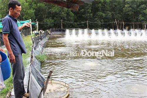 Anh Nguyễn Huy Bình, ấp Bà Trường, xã Phước An (huyện Nhơn Trạch) đang kiểm tra tôm trong ao. Ảnh: H.Lộc