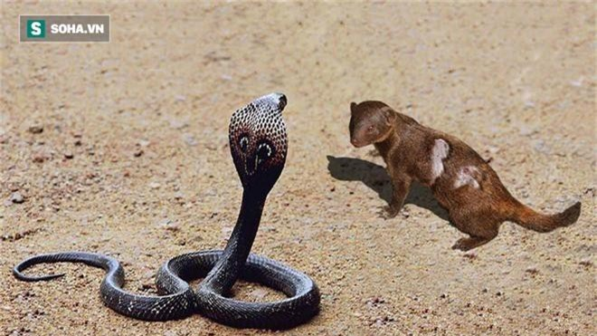 Rắn hổ mang liên tục tấn công cầy mangut, kẻ sơ suất trả giá bằng mạng sống - Ảnh 1.