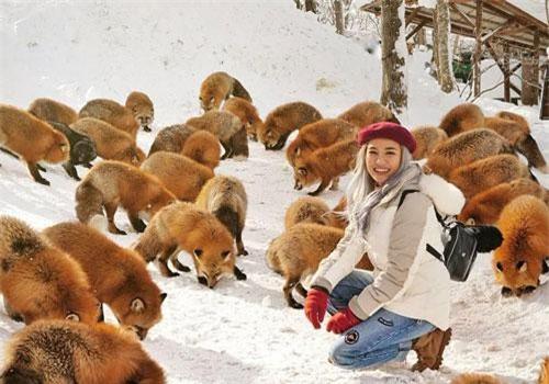 Làng Zao, tỉnh Miyagi, thuộc vùng cao nguyên dãy núi Zao, nổi tiếng là nơi sinh sống của 6 loài cáo hoang dã với hàng trăm cá thể. Ngôi làng được thành lập từ năm 1990, đến nay là điểm du lịch hút khách của tỉnh Miyagi. Ảnh: Marischkaprue.