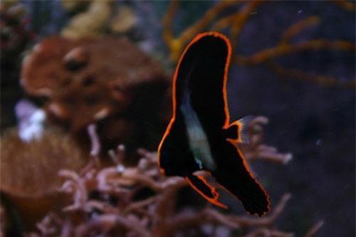 Cá ó lửa có tên khoa học là Platax pinnatus. Trong tự nhiên, loài cá này thường sống ở những dải đá ngầm có độ sâu ít nhất 20m. Ảnh: wikipedia.