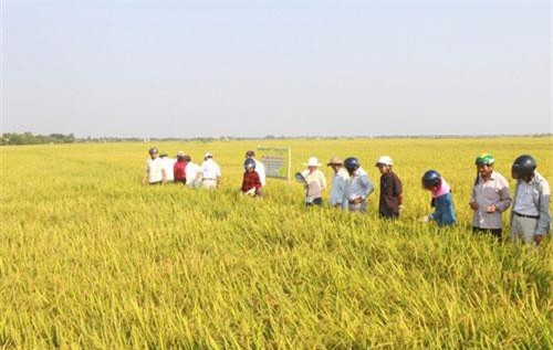 Cánh đồng lúa hữu cơ tại huyện Triệu Phong, Quảng Trị.