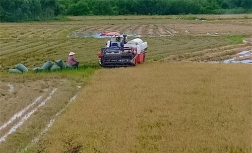 Nông dân buồn bã vì năng suất lúa hè thu giảm vì nắng hạn.