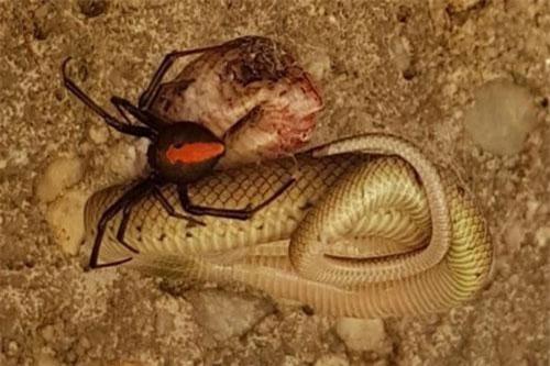 Rắn nâu phương đông nằm bất động chịu chết khi trúng nọc độc nhện. (Ảnh: Facebook).