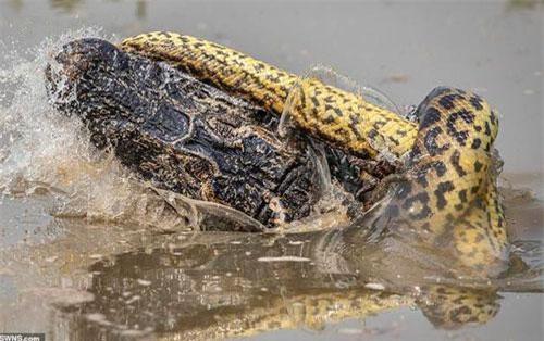 Khi đang có chuyến du lịch ở Pantanal, Brazil, nhiếp ảnh gia Kevin Dooley, 58 tuổi, trông thấy một con trăn anaconda đang chiến đấu với một con cá sấu caiman trong vùng nước ngập. Con trăn quấn quanh và siết chặt con cá sấu khiến cả 4 chân của cá sấu đều gãy. Cá sấu tìm cách cắn vào cổ trăn nhưng không thể khiến đối phương bị thương nghiêm trọng.