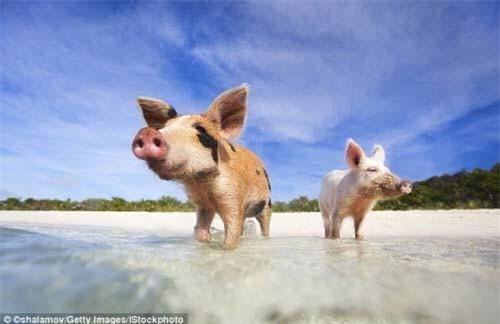 Đảo Lợn Bahamas.