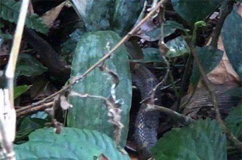 Một con rắn hổ mang chúa được phát hiện trên đường lên đỉnh Pu Ta Leng.