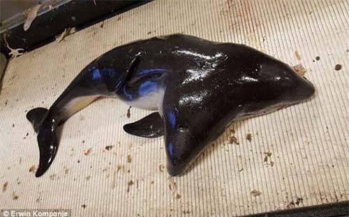 Cá heo hai đầu do ngư dân bắt được ở ngoài khơi bờ biển Hà Lan.