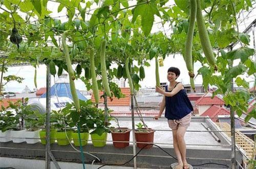 Vườn rau của gia đình chị Nguyễn Hằng, 37 tuổi (công tác trong một công ty Nhật Bản trụ sở tại Hải Phòng) được nhiều người ví như một siêu thị mini trên sân thượng, bởi sự đa dạng chủng loại, đẹp và ngăn nắp như vườn cảnh.