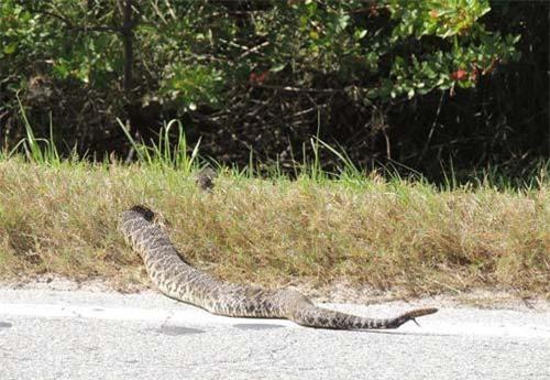 Con rắn chuông kì lạ bò qua đường ở Florida, Mỹ.