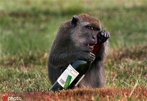 Bên ngoài Đại học Khoa học Tự nhiên Malaysia, giáo sư vật lý Mihail Nazarov đã chụp được hình ảnh một con khỉ nghịch ngợm cầm chai rượu vang đỏ, trông loài động vật bồn chồn và đầy hưng phấn.