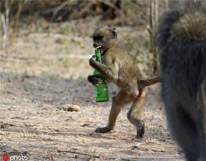 Cộng đồng mạng - Thế giới động vật: Khi động vật là 'kẻ bợm nhậu' (Hình 2).
