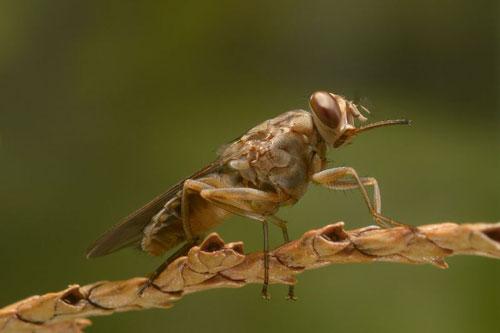 3. Ruồi xê xê. Ước tính, mỗi năm có khoảng nửa triệu người chết do dính mầm bệnh từ loài ruồi xê xê và đa phần đều ở châu Phi.