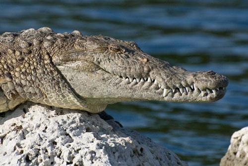 7. Cá sấu. Mỗi năm, có khoảng 1.000 – 2.500 người chết vì bị cá sấu tấn công.