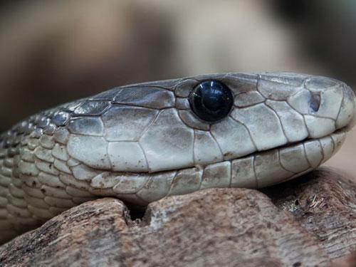 4. Rắn. Mỗi năm, trên thế giới có khoảng 50.000 người chết vì bị rắn cắn.