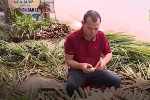 Nam Định: Trồng củ niễng cho thu nhập hàng trăm triệu đồng
