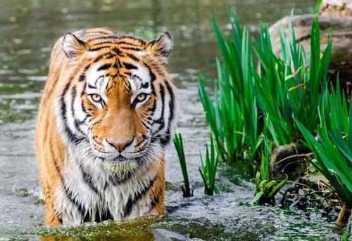 9. Hổ. Mỗi năm, có khoảng 300 vụ tử vong do bị hổ tấn công. Trong đó, đa phần đều là những vụ người xâm phạm vào lãnh địa của chúng.