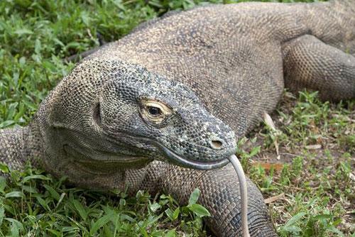 2. Là loài có thể ăn xác thối nên khứu giác của rồng Komodo rất thính khi ngửi được mùi thức ăn ở khoảng cách hơn 8km.