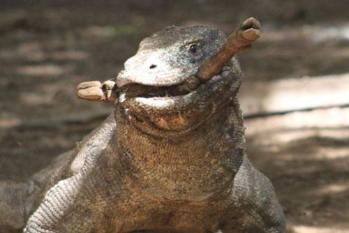 3. Rồng Komodo có thể nuốt trọn số thức ăn bằng 80% trọng lượng cơ thể của nó trong một lần ăn.