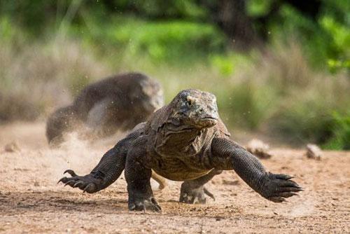 8. Rồng Komodo có thể chạy với vận tốc 20km/h.
